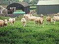 Simmentals, Park Farm - geograph.org.uk - 1422403.jpg