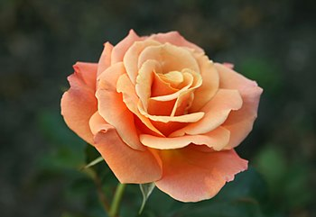 English: 'Singin' in the rain', a floribunda r...