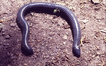 The ringed caecilian (Siphonops annulatus) resembles an earthworm Siphonops annulatus.jpg