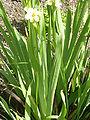 Sisyrinchium striatum (Iridaceae) leaves.JPG