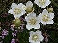 Slåtterblomma - Parnassia palustris - Flickr - Ragnhild & Neil Crawford.jpg