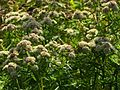 Slender Mountain Mint - Flickr - treegrow.jpg