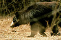 Sloth bear walking by N A Nazeer.jpg