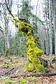Slovenia - Moss on tree.jpg