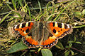 Small tortoiseshell (Aglais urticae L.) Port Meadow.jpg