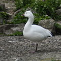 Snow goose 4.jpg