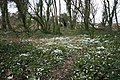 Snowdrops in Wood at Preesall - geograph.org.uk - 1176182.jpg
