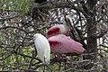 Snowy Egret & Roseate Spoonbill Smith Oaks High Island TX 2018-03-27 10-40-24 (40351192894).jpg
