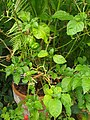 Solanales - Capsicum chinense - 3.jpg