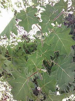 Solanum Xanthocarpum.jpg