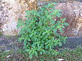 Solanum americanum plant3 (16188062441).jpg