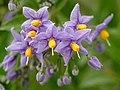 Solanum crispum JdP 2013-04-28 n02.jpg