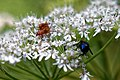 Soldier beetle and blue-bottle fly at Woods Mill, Sussex Wildlife Trust, England.jpg