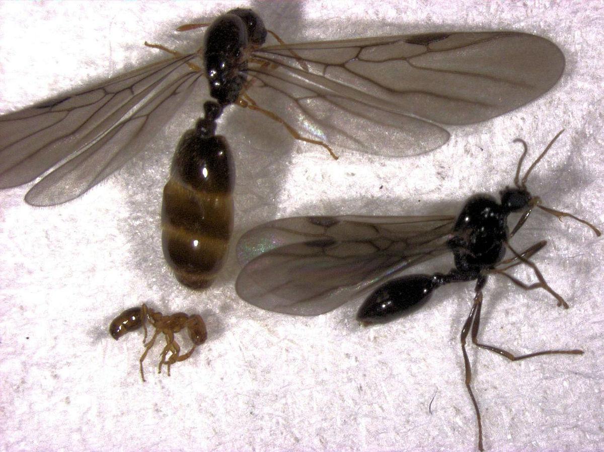 formiche ed erezione)