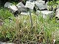 Sorghastrum nutans - Botanischer Garten München-Nymphenburg - DSC07702.JPG