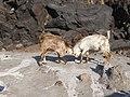Sostis Goats... (2793669350).jpg