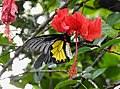 Southern Birdwing Troides minos male by Dr. Raju Kasambe DSCN7505 (11).jpg