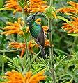 Southern Double-collared Sunbird (Cinnyris chalibeus) immature male foraging on flowers of Wild Dagga (Leonotis leonurus) (32812380721).jpg