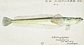 Southern Pacific fishes illustrations by F.E. Clarke 43.jpg