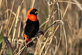 Southern red bishop, Euplectes orix, at Rietvlei Nature Reserve, Gauteng, South Africa (15862871840).jpg