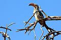 Southern yellow-billed hornbill tockus leucomelas.jpg