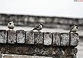 Sparrow (61926114).jpg