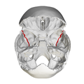 Sphenosquamosal suture - skull - superior view01.png
