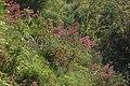 Sphingidae - Macroglossum stellatarum - Habitat.JPG