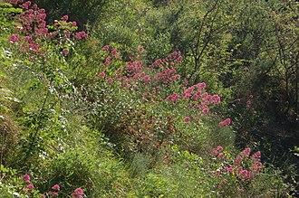 Hummingbird hawk-moth - One of the preferred habitats of M. stellatarum (woodland edge with red valerian)
