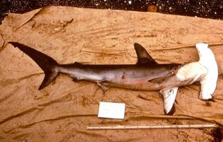 Smooth hammerhead the only species of hammerhead shark that prefers temperate habitat