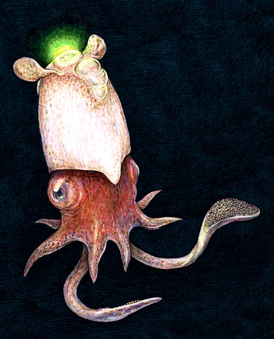 Elusive squid seen alive in natural habitat for first time  389px-Spirula_spirula_illustration
