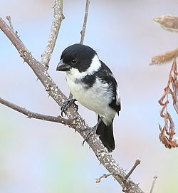 Sporophila americana - Wing-barred seedeater (male).JPG