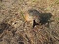 Spur-thighed tortoise in Mardakan, Azerbaijan 3.jpg