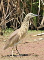 Squacco Heron, Ardeola ralloides at Marievale Nature Reserve, Gauteng, South Africa (15456547128).jpg