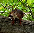 Squirrel in Alhambra, Granada - Flickr - gailhampshire.jpg