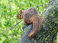 Squirrel in a Tree by Monique Haen.jpg