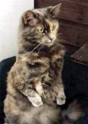 Dysmelia - A cat with shortened forelimbs as a result of micromelia