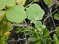Starr-010520-0051-Sicyos maximowiczii-flowers-Inland-Kure Atoll (24237190980).jpg