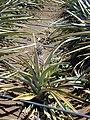 Starr-020630-0024-Ananas comosus-fruit and irrigation-Makawao-Maui (24524057796).jpg