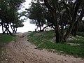 Starr-050121-3141-Cynodon dactylon-Americorps crew-Kanaha Beach-Maui (24440363830).jpg