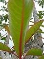 Starr-060429-9460-Charpentiera obovata-leaves-Auwahi-Maui (24769101101).jpg