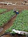 Starr-090518-7951-Fragaria x ananassa-crop and worker in field-Omaopio-Maui (24328636823).jpg