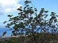 Starr-090601-8705-Melia azedarach-fruiting habit-Ulupalakua-Maui (24593336329).jpg