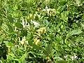 Starr-090707-2341-Lonicera japonica-flowers and leaves-Waikapu Golf Course-Maui (24673436090).jpg