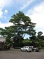 Starr-090720-3129-Ochroma pyramidale-large tree habit-Tropical Gardens of Maui Iao Valley Rd-Maui (24602672959).jpg