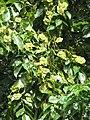 Starr-090818-4465-Pterocarpus indicus-leaves and seedpods-Kihei-Maui (24677003730).jpg