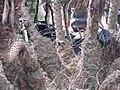Starr-100121-1525-Phoenix roebelenii-cluster trunks-Kihei Garden and Landscape Wailuku-Maui (24889543472).jpg