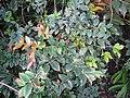 Starr-110215-1206-Myrciaria cauliflora-leaves-KiHana Nursery Kihei-Maui (24957702312).jpg