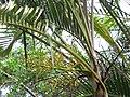 Starr-110330-3647-Chrysalidocarpus lutescens-habit-Garden of Eden Keanae-Maui (25080569785).jpg