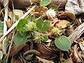 Starr-130610-4792-Alternanthera pungens-seeding habit-Kealia Pond NWR-Maui (25093645332).jpg